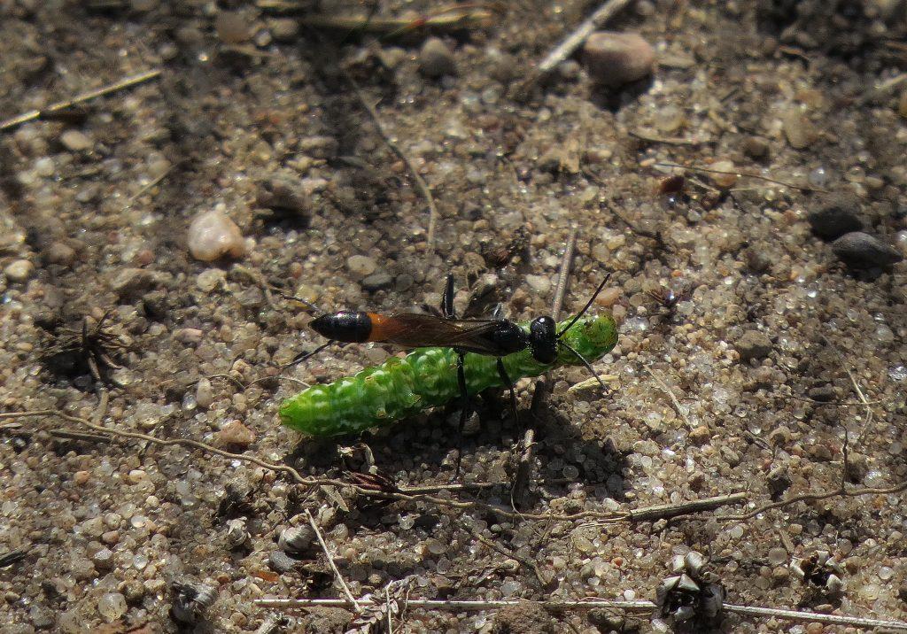 9-img_7874-spenslig-sandstekel-ammophila-sabulosa-ljunghedfly-anarta-myrtilli